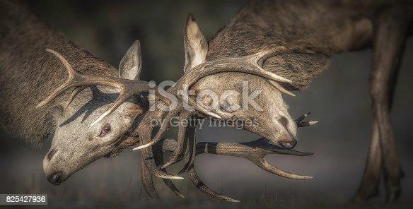 465666157 istock photo Deer Rutting 825427936