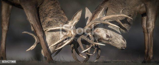 465666157 istock photo Deer Rutting 825427968