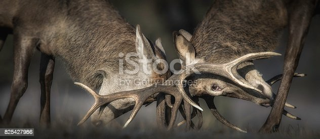465666157 istock photo Deer Rutting 825427986