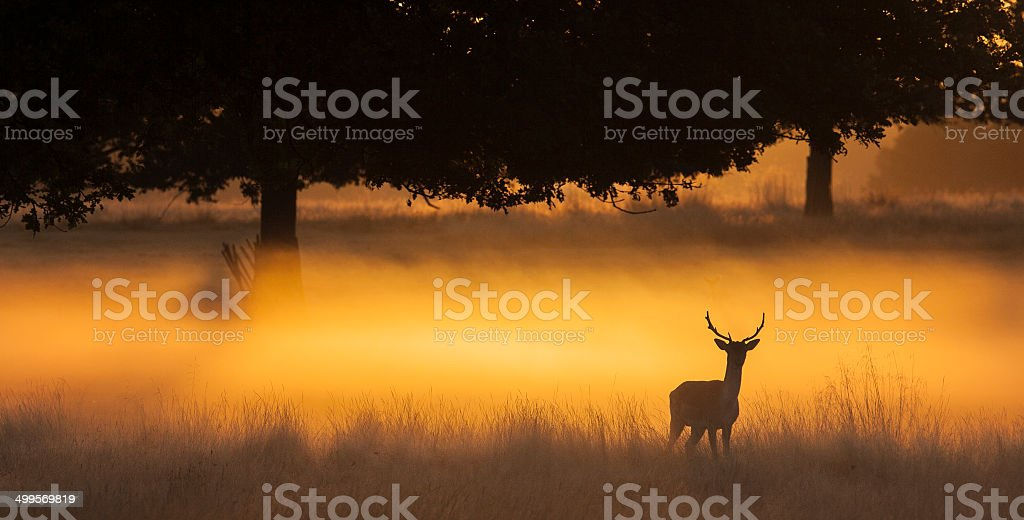 Deer Scenic Deer stag in the early morning mist of Richmond Park Back Lit Stock Photo