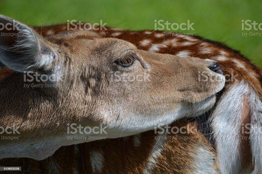 Deer scratching his rear stock photo