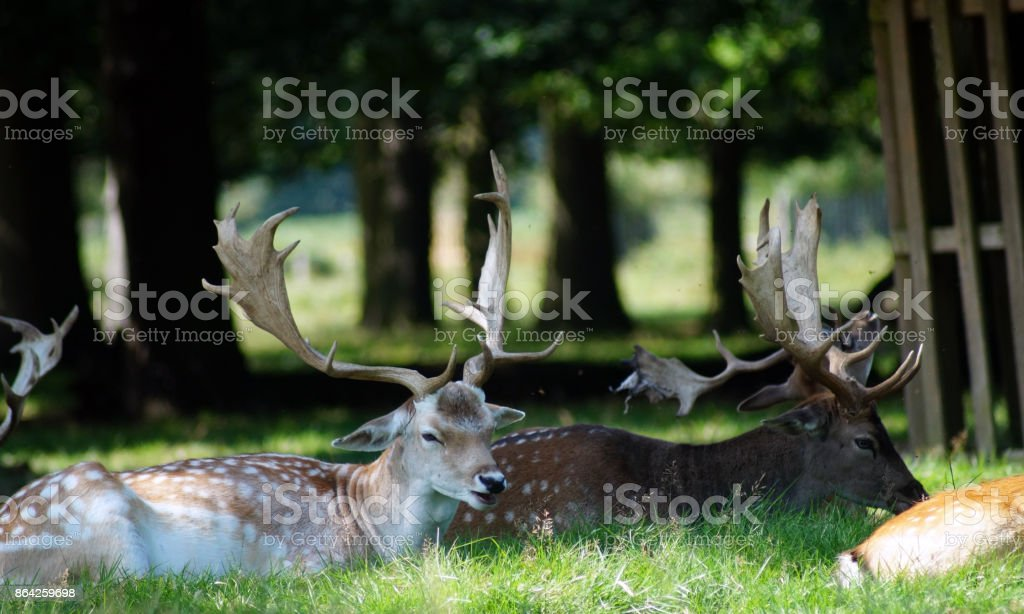 Deer sitting down in a park royalty-free stock photo