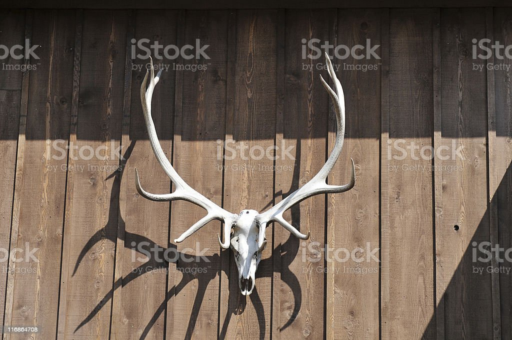 Deer skull against a wooden wall stock photo