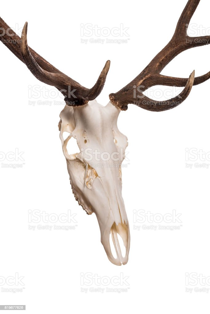 Deer Skull With Big Horn Stock Photo & More Pictures of Anatomy | iStock