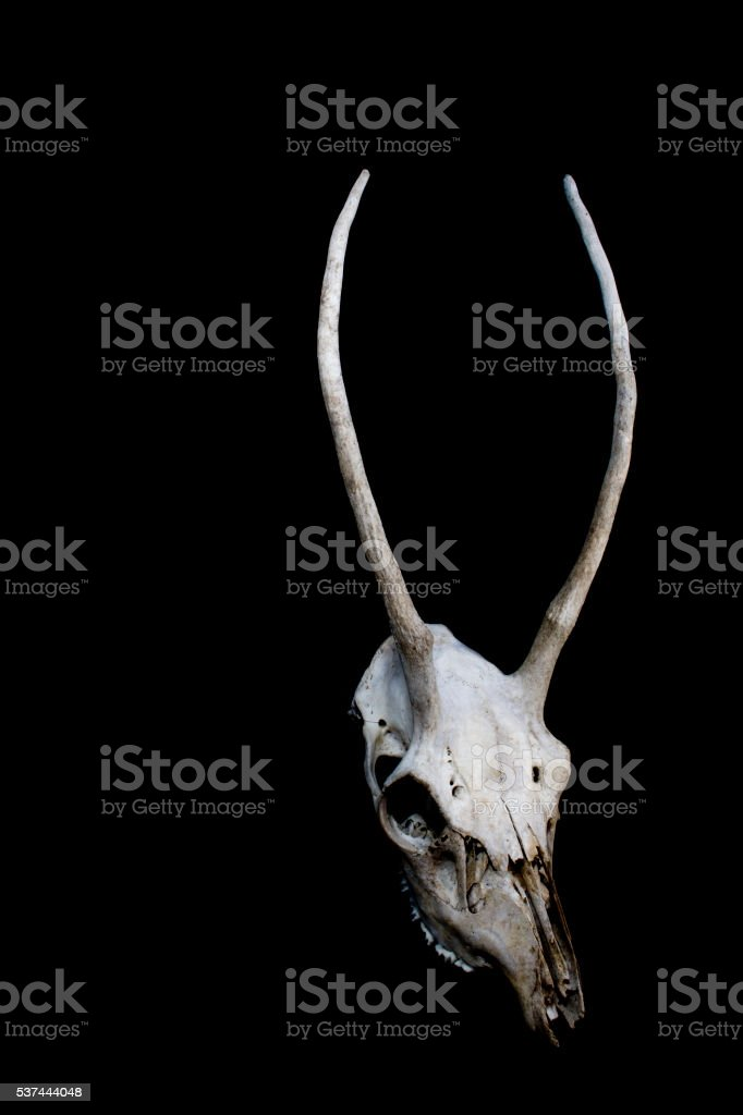 Deer Skull With Odd Antlers Stock Photo & More Pictures of Anatomy ...