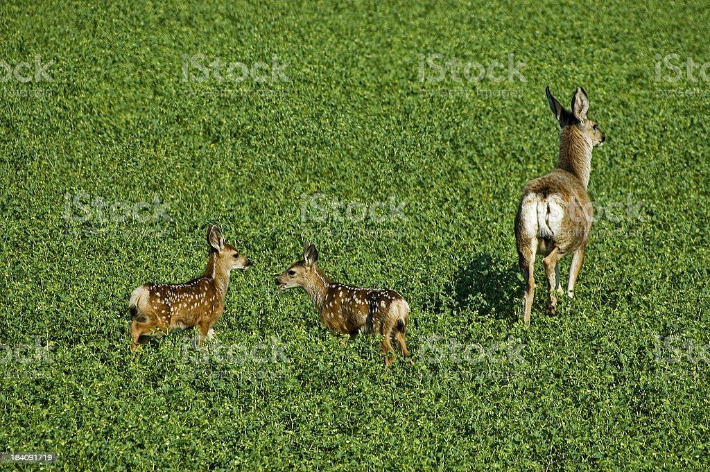 Deer squabble royalty-free stock photo