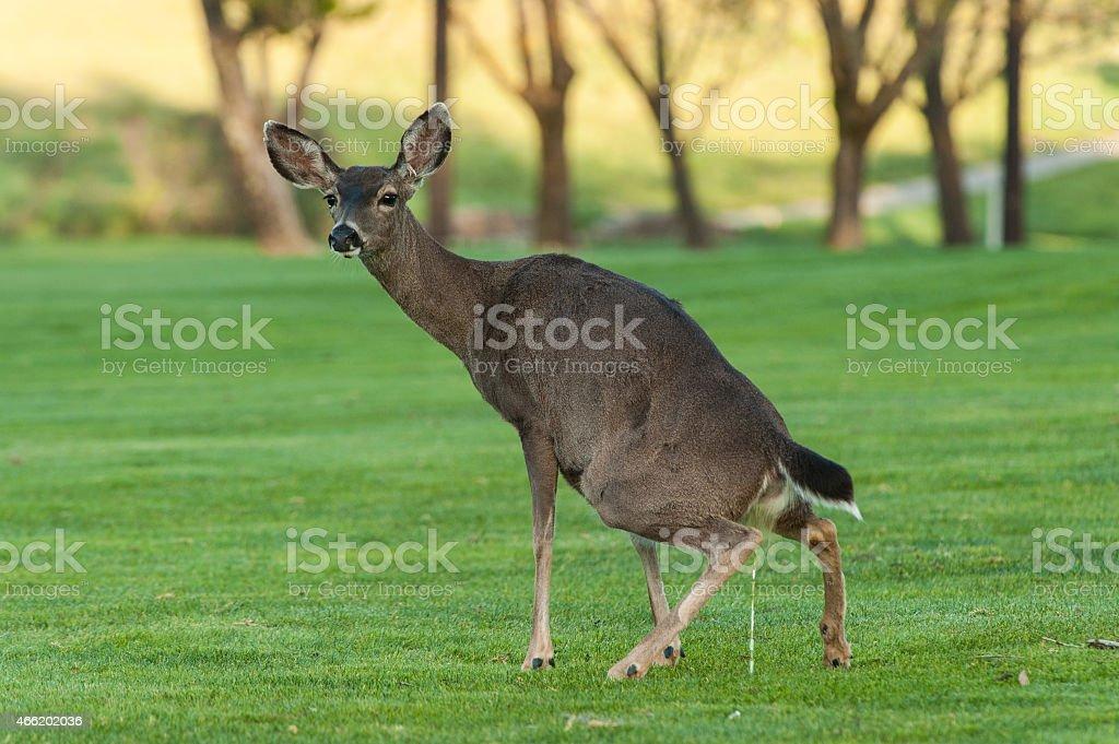 Deer squats nach Urinieren on grass field – Foto
