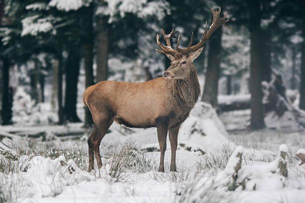 rotwild-hirsch - schwarzwald stock-fotos und bilder
