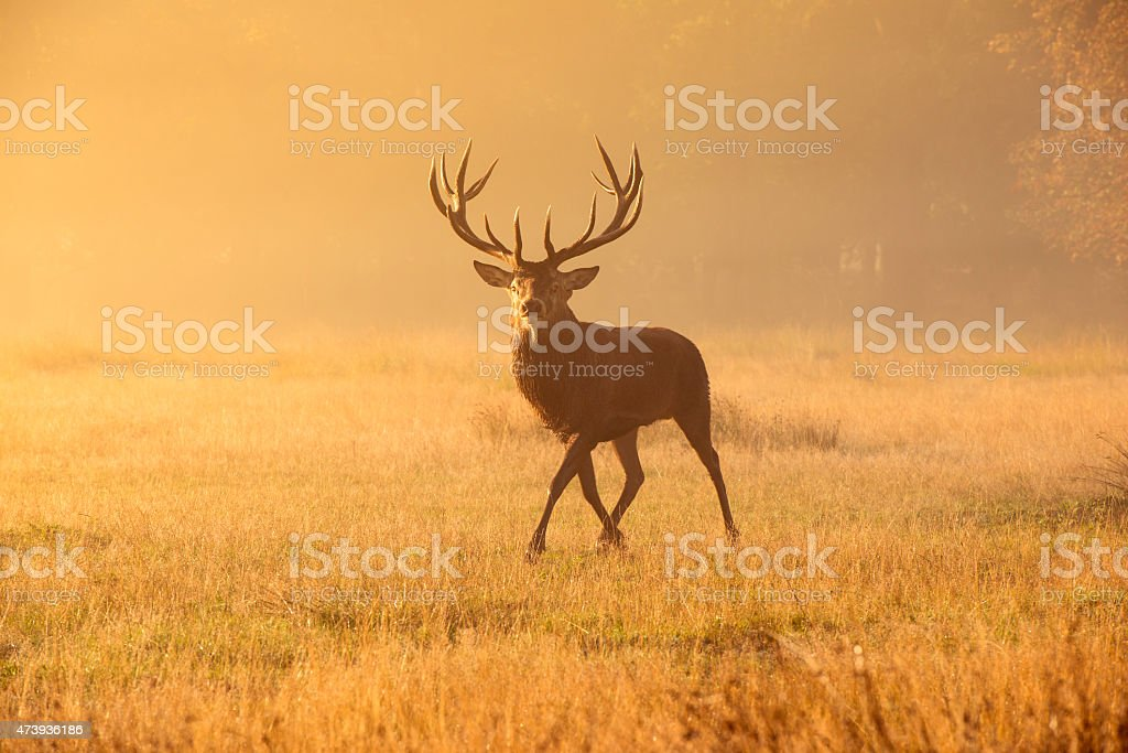 Deer stag! stock photo