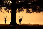 Two deer stags walking into the mist from under a great oak tree