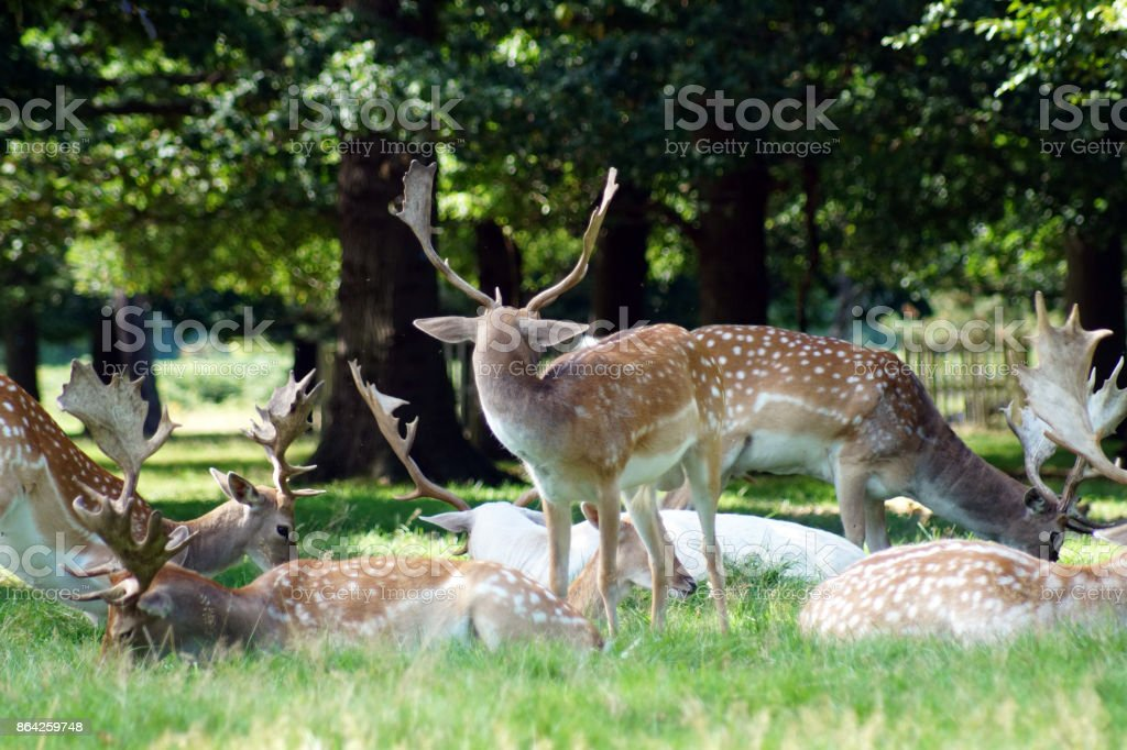 Deer standing and sitting in a park royalty-free stock photo