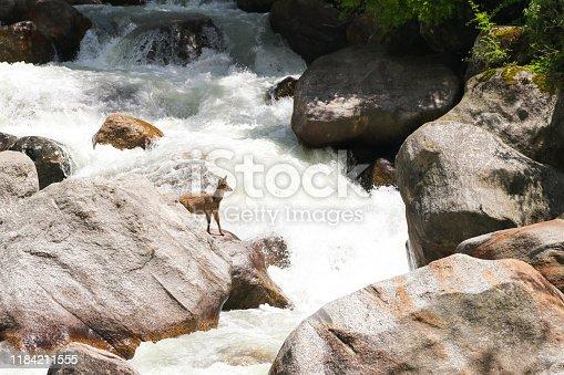 A deer standing on a rock near Gangotri, Uttrakhand