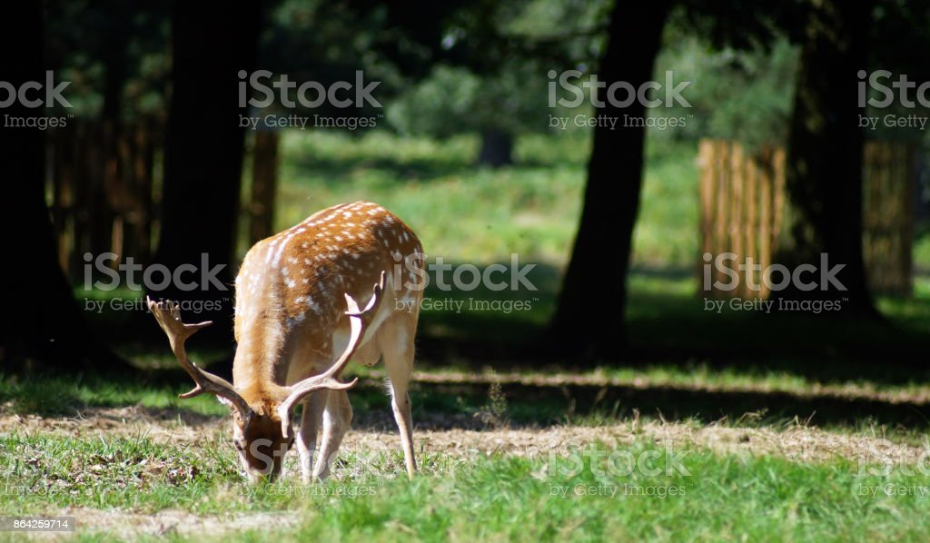 Deer standing in a park royalty-free stock photo