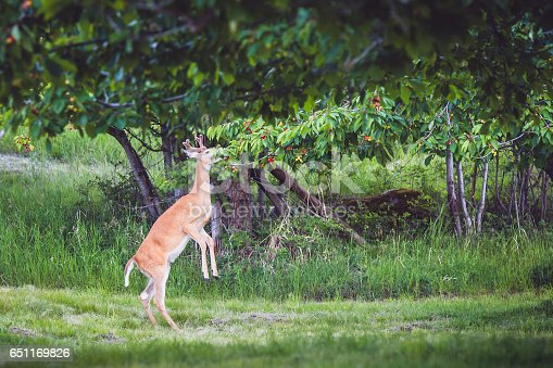 A young and hungry deer buck eating from low hanging branches of a cherry tree. Deer is standing on his hind legs. A young doe is walking nearby.