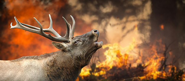 istock Deer stands in burning forest 1063599428