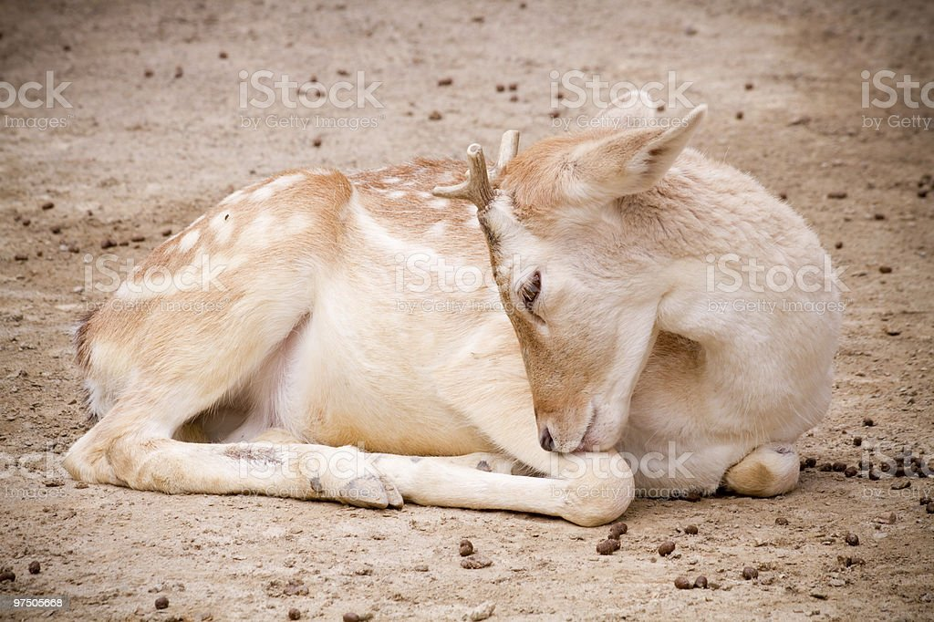 Deer taking a rest royalty-free stock photo