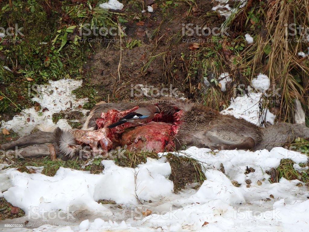 Deer torn wolves, Eurasian jay - bird, stock photo