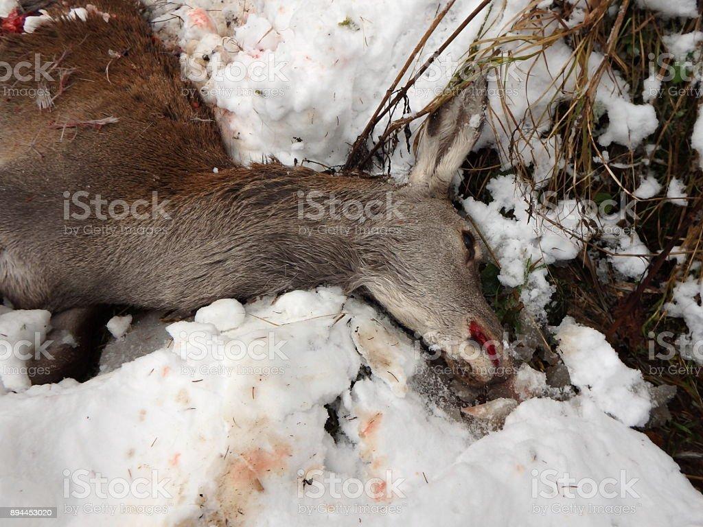 deer torn wolves, stock photo