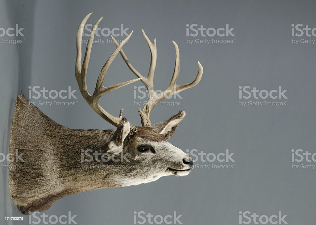 Deer Trophy with Large Horns royalty-free stock photo