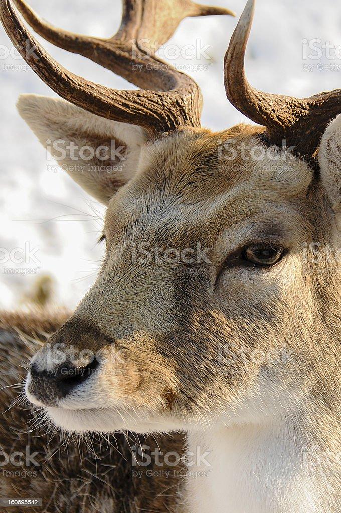 Deer up close royalty-free stock photo