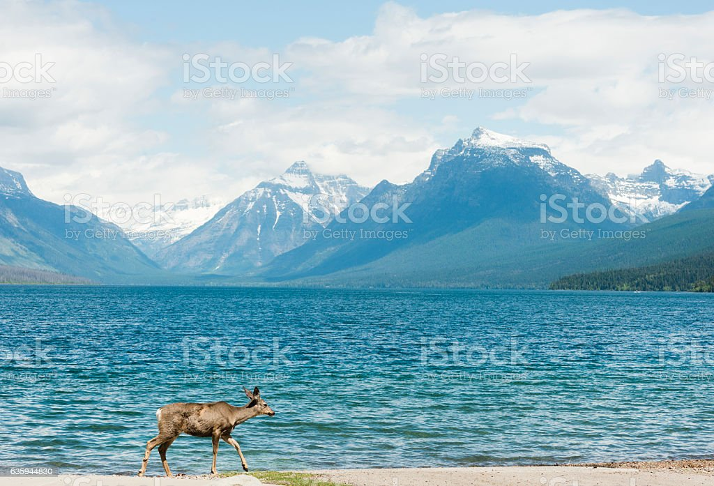 This is a horizontal, color, royalty free stock photograph of a deer...