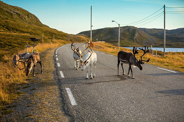 deer walking along the road - nordkap stock-fotos und bilder