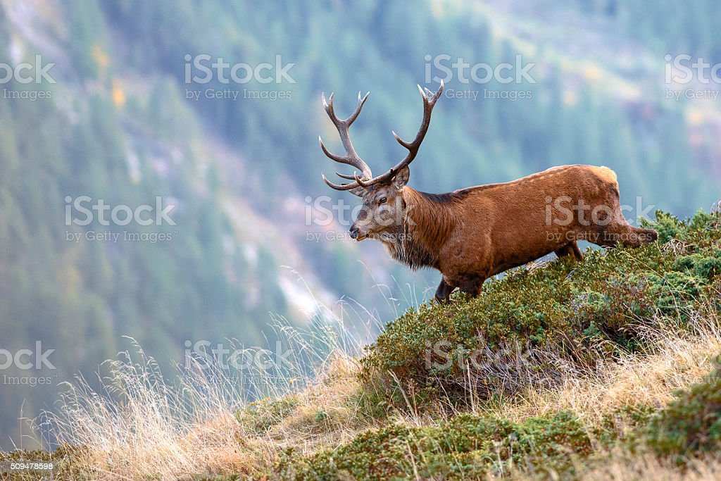 deer walking on a mountain top stock photo