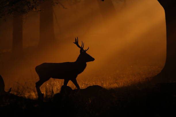 Deer Walking Through Mist at Sunset stock photo
