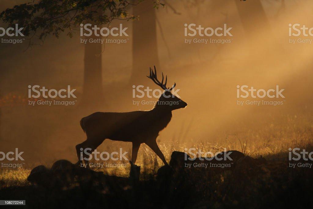 Deer walking through sunbeams stock photo