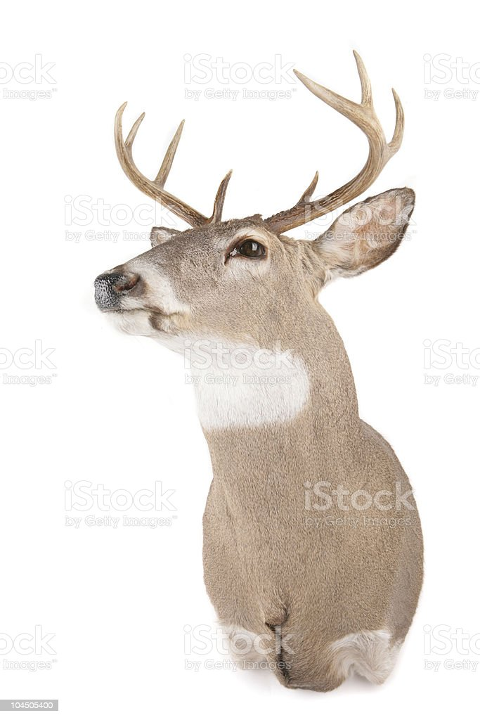 Deer with antlers looking left stock photo