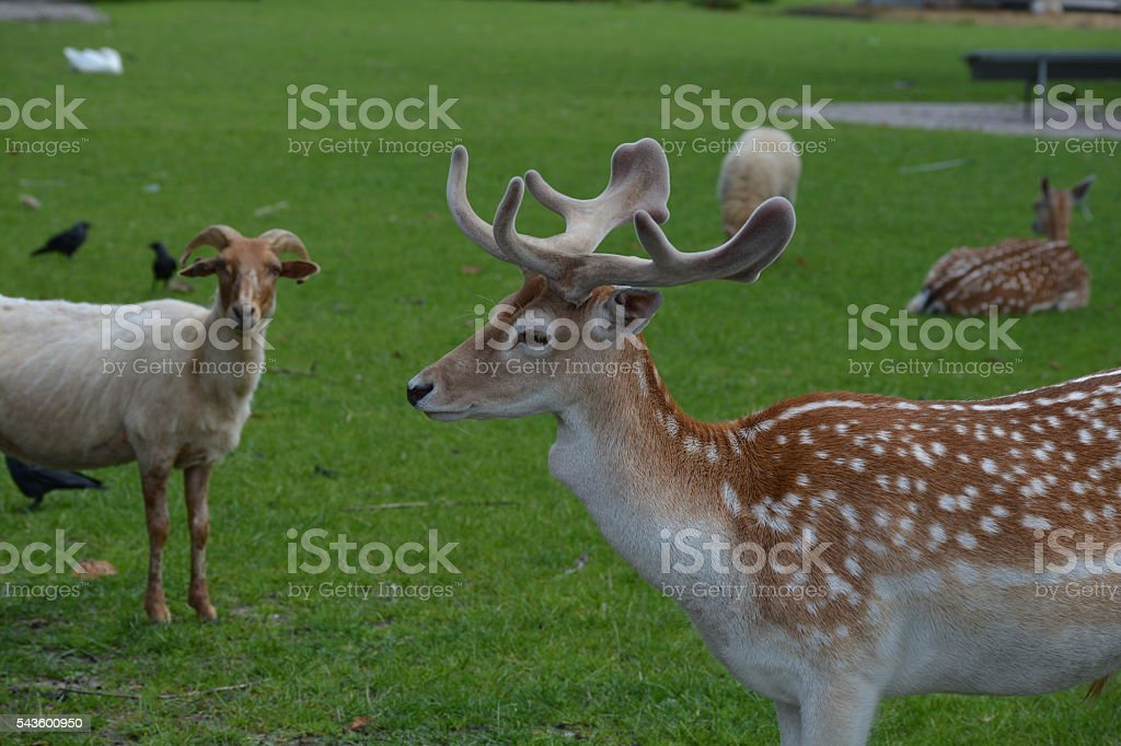Deer with antlers stock photo
