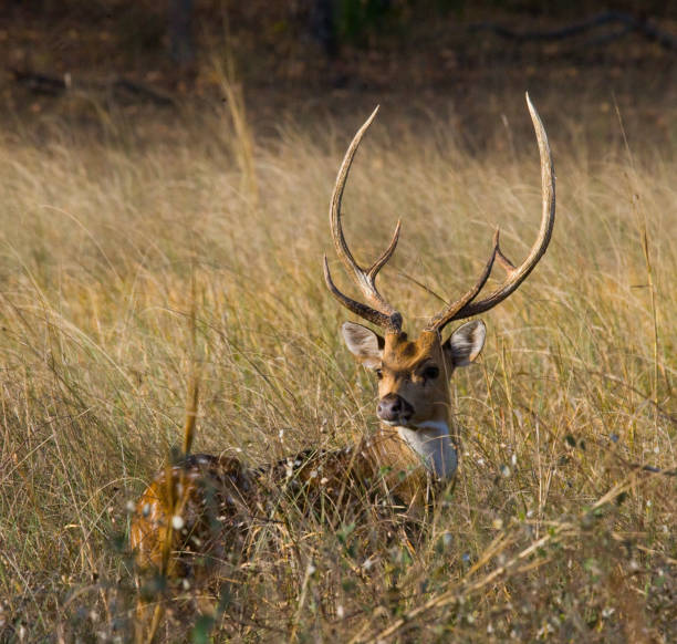 Deer with beautiful horns standing in the grass in the wild. India. National Park. Deer with beautiful horns standing in the grass in the wild. India. National Park. An excellent illustration. axis deer stock pictures, royalty-free photos & images