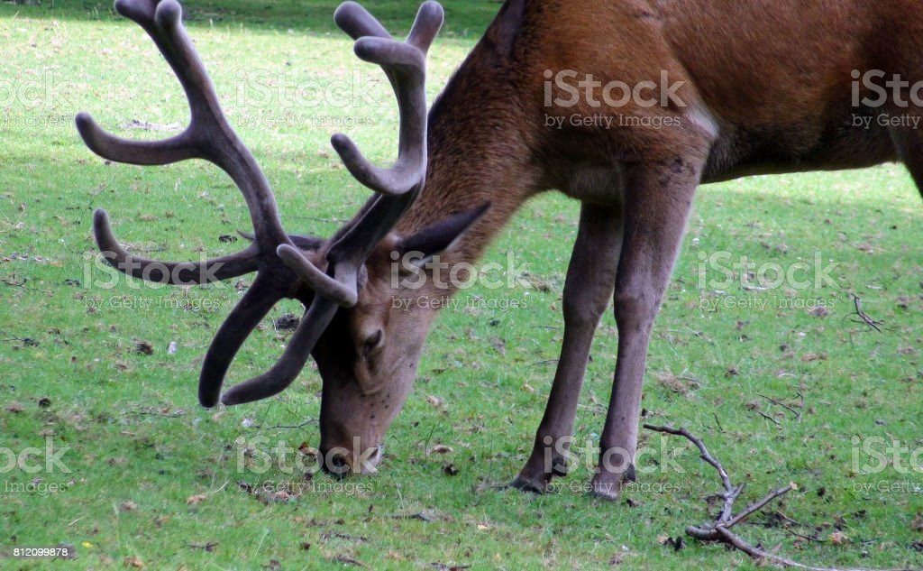 A Deer With Horns Eating Green Grass On The Field stock photo