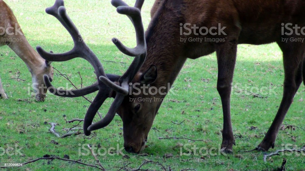 Deer With Horns Eating Green Grass On The Field Scene stock photo
