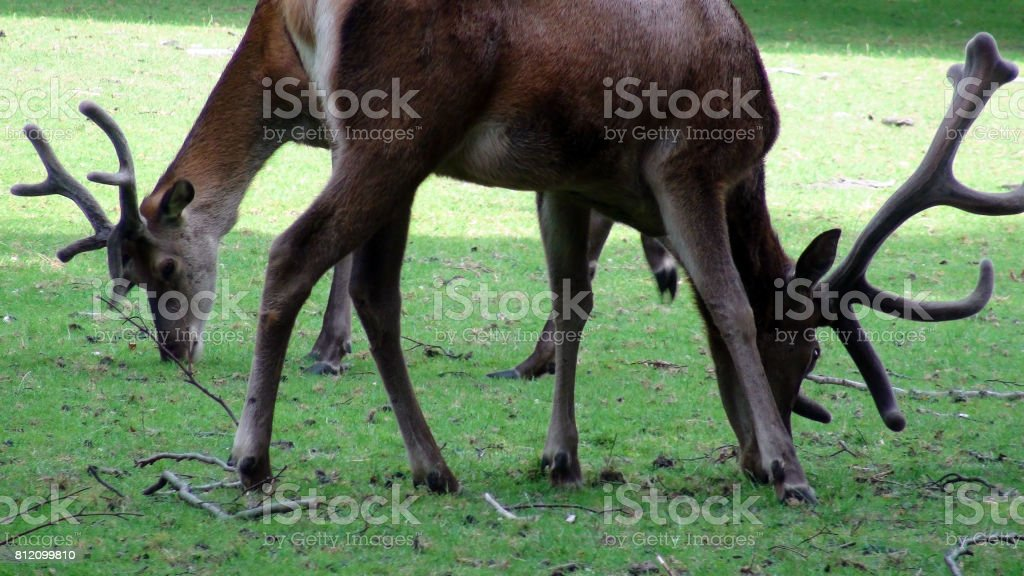 Deer With Horns Eating Green Grass On The Field Scenery stock photo