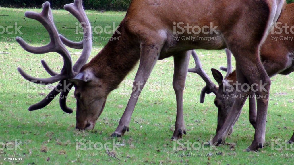 Deer With Horns Eating Green Grass On The Field View stock photo