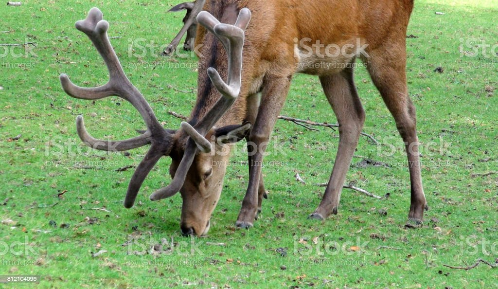 Deer With Horns Grazing Green Grass On The Field stock photo