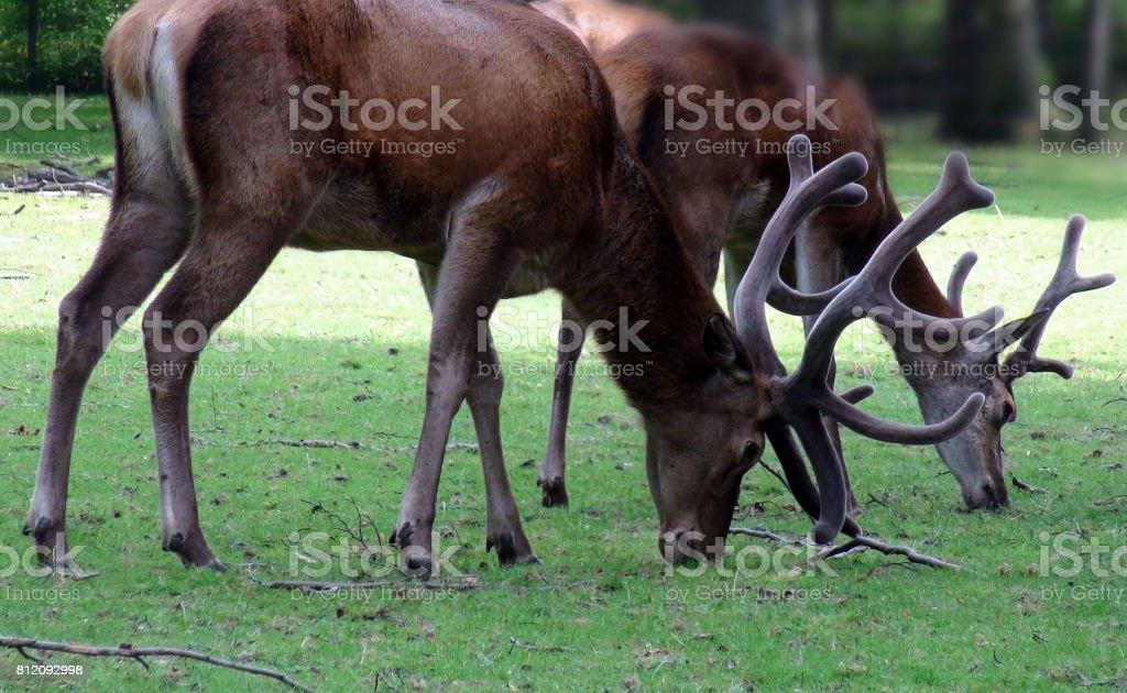 Deer With Horns Grazing stock photo
