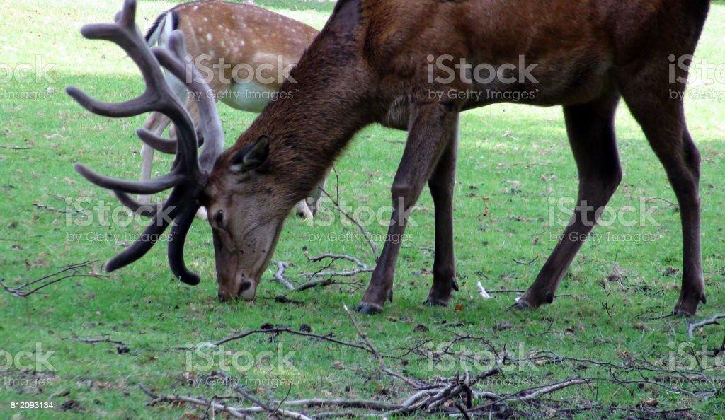 Deer With Horns Grazing Scene stock photo
