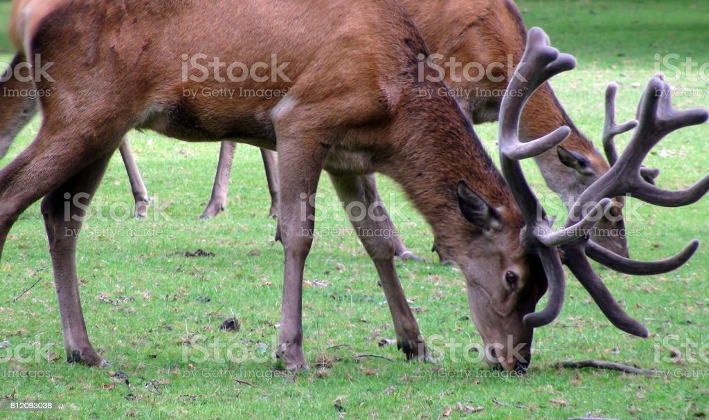 Deer With Horns Grazing View stock photo