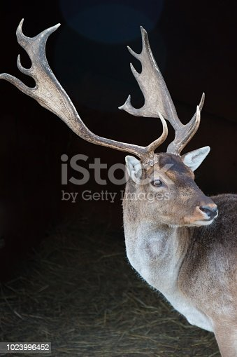 deer with horns