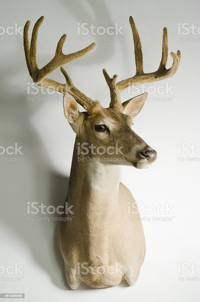 Deer With Velvet Antlers Taxidermy Mount Stock Photo - Download