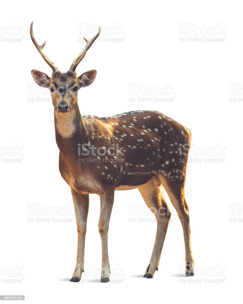 Deer with white background stock photo