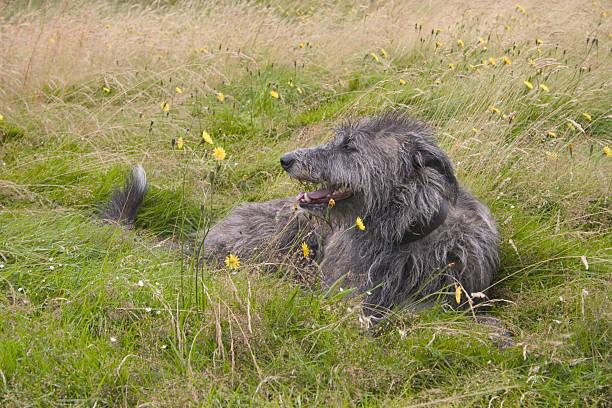 deerhound - schottische kultur stock-fotos und bilder