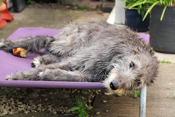 deerhound resting stock photo