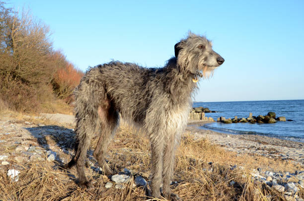 Deerhound stands at a beach Scottish Deerhound standing in a coastal landscape sight hound stock pictures, royalty-free photos & images