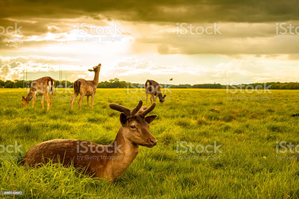 Deers at Phoenix Park foto stock royalty-free