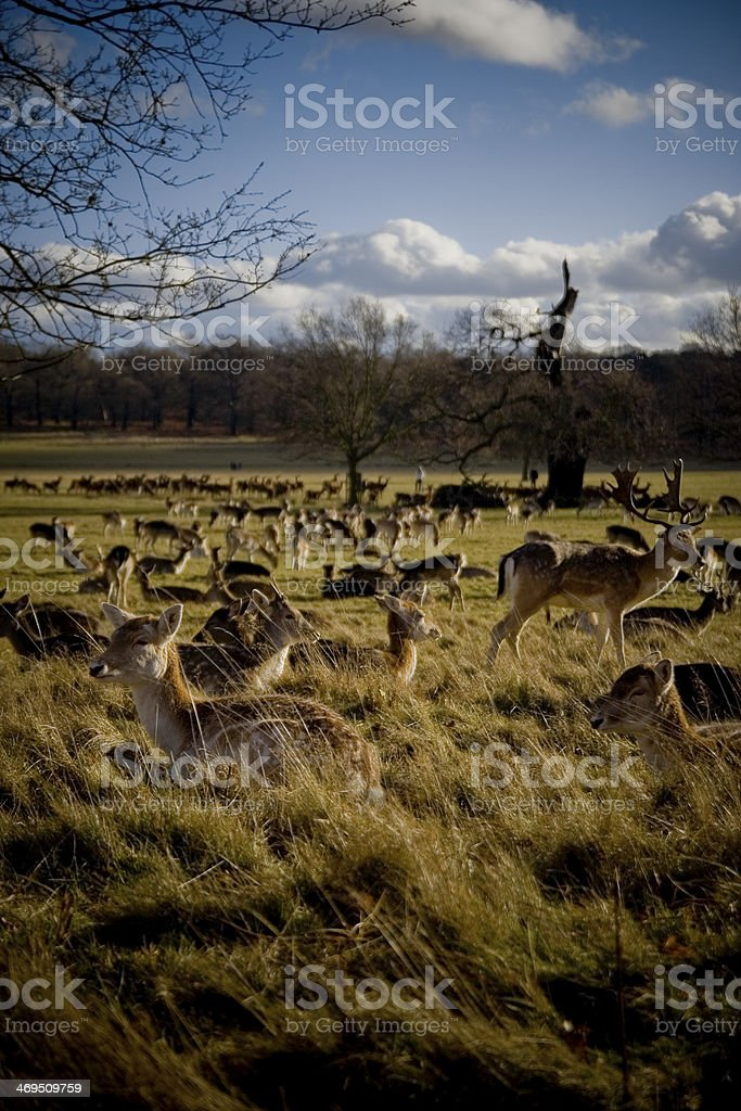 Deers at Richmond Parl royalty-free stock photo