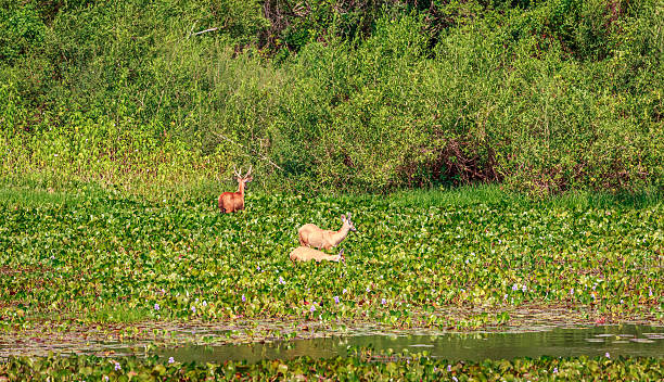 Deers family in Pantanal. stock photo
