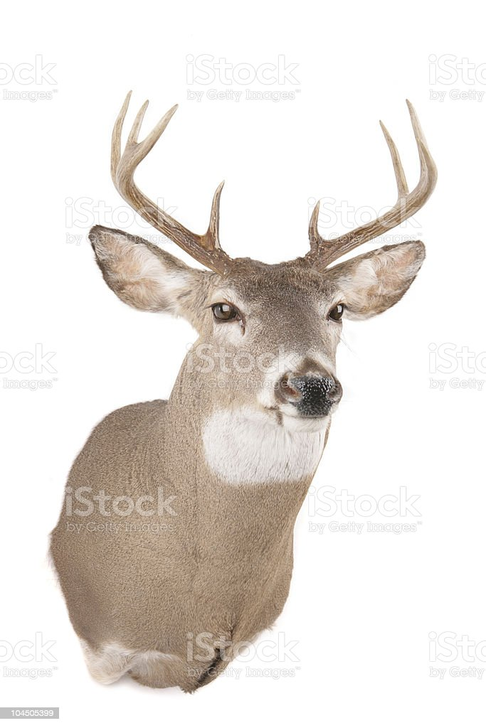 Deer's head from the front stock photo